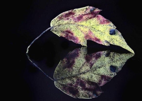 reflection of a leaf