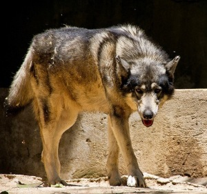 gray wolf advancing