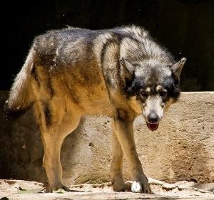 gray wolf advancing