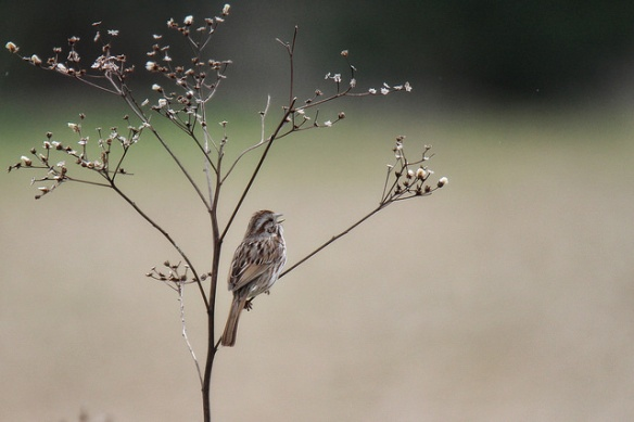 sparrow's song