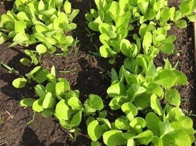 a future salad in my garden